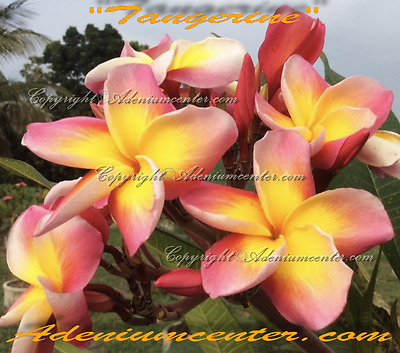 "NEW PLUMERIA RUBRA FRANGIPANI /"" SUMMER HOT 2 /"" 10 SEEDS FRESH  FREE SHIPPING"