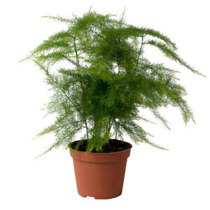 plante asparagus plumosus en pot 6cm cadre tableau