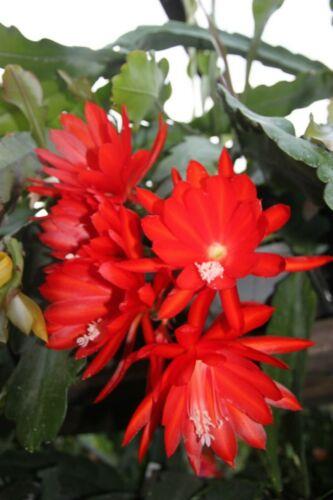 "Epiphyllum Blattkakteen Epicactus /""No Name /"" Jungpflanzen Epi 251"