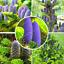 50-Pcs-Graines-coreen-SAPIN-Abies-Koreana-Bonsai-plantes-Accueil-Jardin-Rare-Arbre-Nouveau-C miniature 6