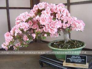 10PCS rare sakura seeds bonsai flower Cherry Blossoms Tree cherry blossom Bonsai