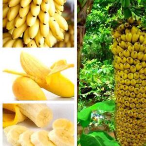 100stk-Schnellwachsende-Essbar-Zwergbanane-Obst-Samen-Bananenstaude-Banane-Samen