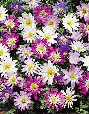 25 oder 50 Anemonen Zwiebeln blanda gemischt Blumenzwiebeln Lieferbar ab 31.8.