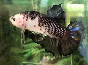 "betta fish giant big Black Koi size 2""3/4 BO (High Quality)"