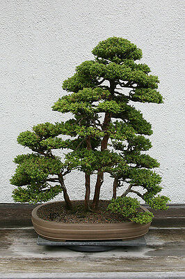Japanese Red Cedar Cryptomeria Japonica Tree Seeds Fast Evergreen Bonsai Ebay