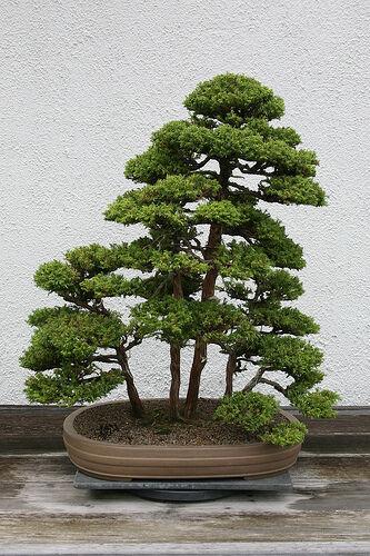 Japanese Red Cedar, Cryptomeria japonica, Tree Seeds (Fast, Evergreen, Bonsai)