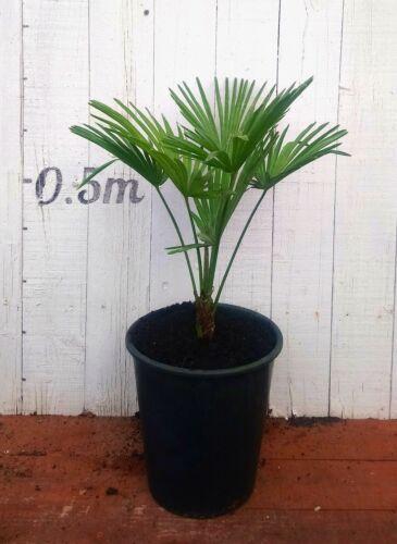 Miniature Chusan Palm Trees 0.7m Trachycarpus Wagnerianus