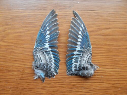 Pair Dried Domestic Budgie Wings Bird Wings Fly Tying Arts Crafts Taxidermy