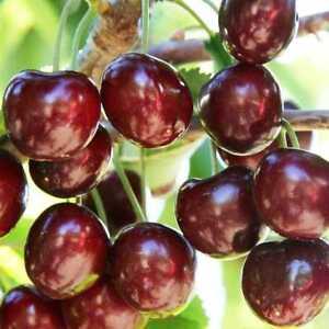 40x-Cherry-Seeds-Green-Fresh-Fruit-Seeds-Bonsai-Tree-Seed-For-Home-Garden-UKP