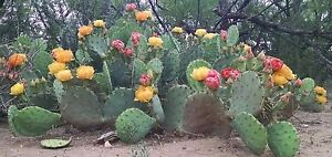 West Texas Prickly Pear Cactus Pad Segment Opuntia Lindheimeri
