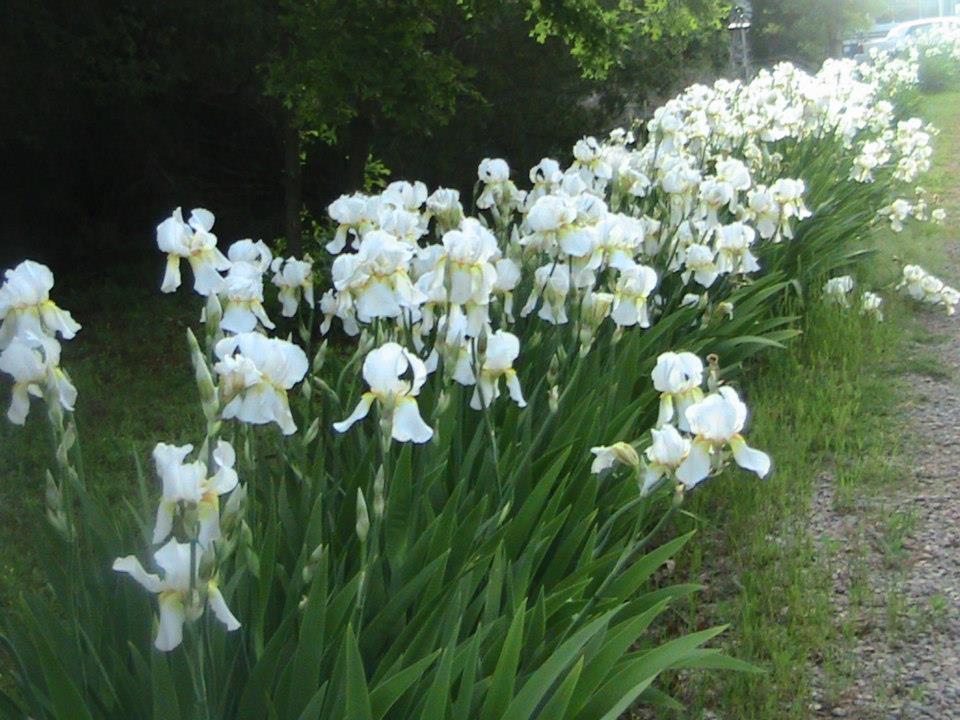 Rhizome, 10 Mixed Color Pretty Bearded Iris Reblooming German Iris Fresh Root