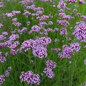 Verbena-Purpletop-Vervain-Bonariensis-100-Seeds-BOGO-50-off-SALE