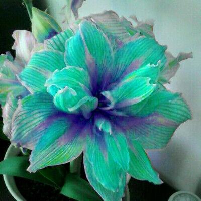 Hippeastrum Amaryllis Bulbs Bonsai Perennial Flower Green Gift Rare Hardy Plants