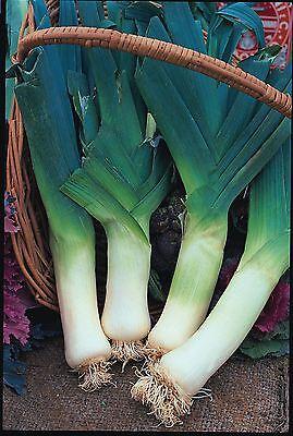 Vegetable - Leek - Giant Winter - 150 Seeds - Economy