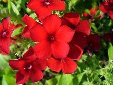 800 RED PHLOX Drummondii Drummond Phlox Flower Seeds