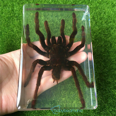 3 Different Spider Specimens Set in 162x76x17mm Lucite Paperweight//Collection