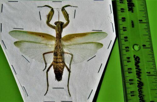 Giant Asian Mantis Hierodula patellifera Spread Green Form FAST FROM USA
