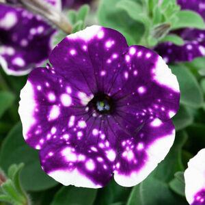 200 PCS Petunia Seeds Flowers Starry Sky Home Garden Beautiful Bloom Gardening