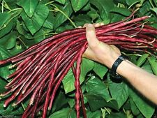 Best New Seeds 55 Yard-long bean,Aka,Chinese Red Noodle Pole Bean From Thailand