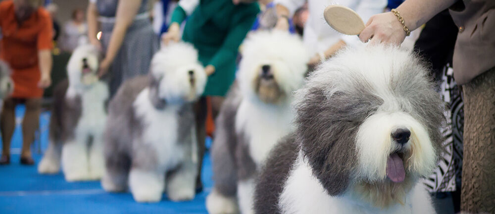 Tickets To Westminster Kennel Club Dog Show Madison Square Garden In New York Ny Feb 13