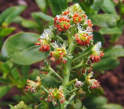Rare 300 seeds Flower Mignonette Reseda Odorata