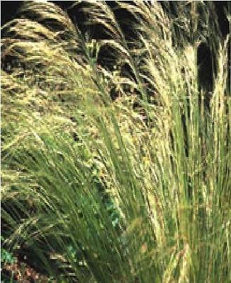 Ornamental Grass - Stipa lessingiana - 10 Seed