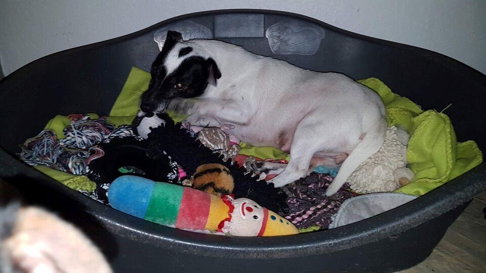 Jack Russell terrier, hvalpe, 5 år