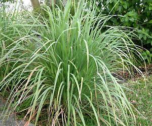 50-Graines-non-traitees-de-CITRONNELLE-Cymbopogon-Lemongrass-Verveine-des-Indes