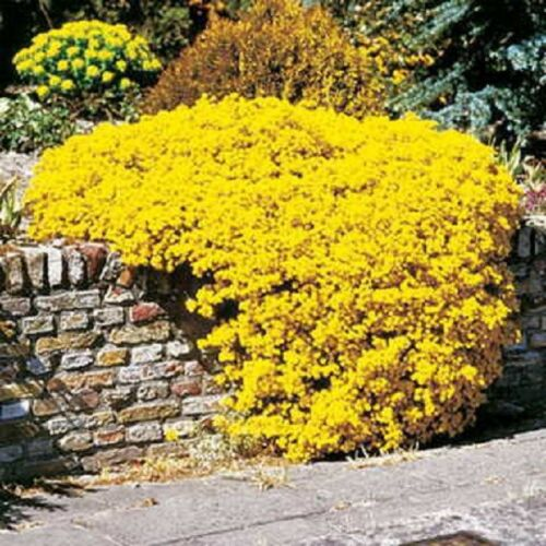 Yellow Alyssum Perennial Ground Cover 60