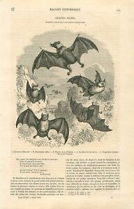 Chauves-Souris-Roussette-chiroptere-Chiroptera-GRAVURE-ANTIQUE-OLD-PRINT-1860