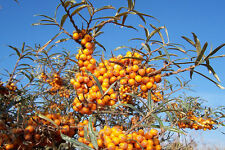 HIPPOPHAE RHAMNOIDES 20 semi seeds Olivello spinoso common sea-Buckthor semillas