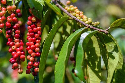 Trendmarkierung Der Immergrüne Mao-luang-pflanze Hat Tolle Rote Beeren Die Immer Dunkler Werden. KöStlich Im Geschmack