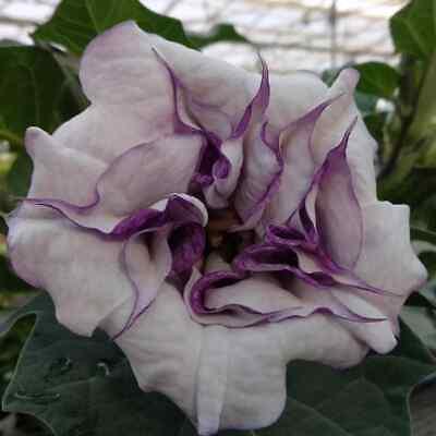 Fresh 25 USA Datura Flower Garden Seeds Double Purple Angel Trumpet Seeds