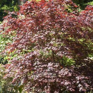 Rouge érable Du Japon Bloodgood Acer Palmatum Pot Cultivé Env