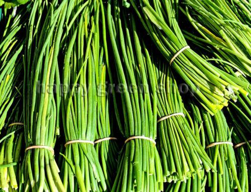 1500 Graines-Ciboulette bohème-Herb graines-Hardy vivace