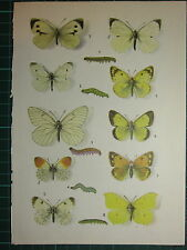 VINTAGE NATURAL HISTORY PRINT ~ BUTTERFLY ALPINE BLACK-VEINED LARGE WHITE