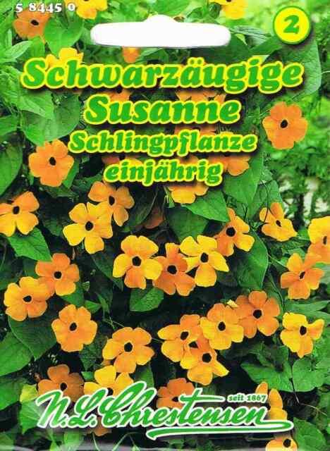 Schwarzäugige Susanne Schlingpflanze, blütenreich 'Thunbergia alata' 584450