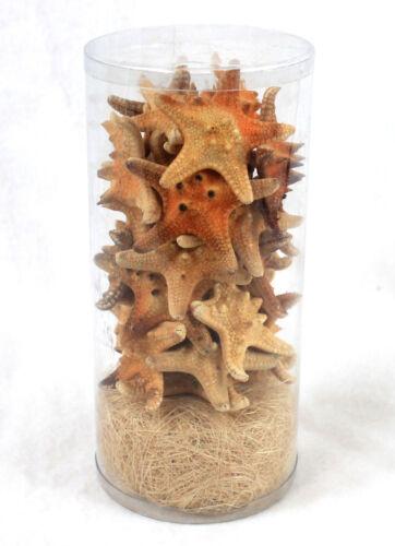 15 x 7 cm haltbar präpariert Starfish 24 echte Seesterne in Dose ca