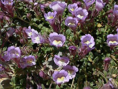 25 + Chaenorrhinum Klein Drachen Blumensamen/mehrjährig Starke Verpackung