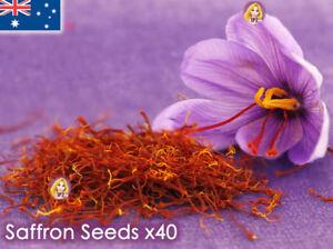 c3edd87ede2b80 Details about Saffron Crocus Sativus Seeds x40 Garden Flower Plant Seed  Rare AUSTRALIA