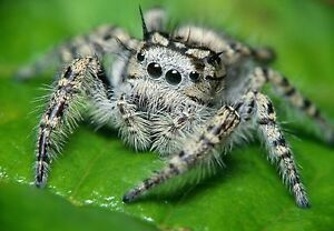 Art-print-POSTER-CANVAS-Closeup-of-Metaphid-Jumping-Spider