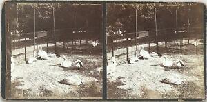 Zoo Anatre Foto Stereo Vintage Citrato c1900