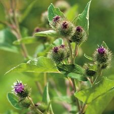 Herb Seeds - Burdock Greater - 25 Seeds
