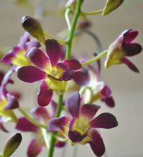 """Dendrobium Burana Sunshine Orchid Seedling 2"""" Compot, EASY Growing!"""