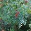 thumbnail 6 - Heavenly Bamboo   Nandina domestica   10 Seeds   (Free US Shipping)