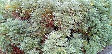 1000 Graines de Absinthe Plant Herbe Aromatique