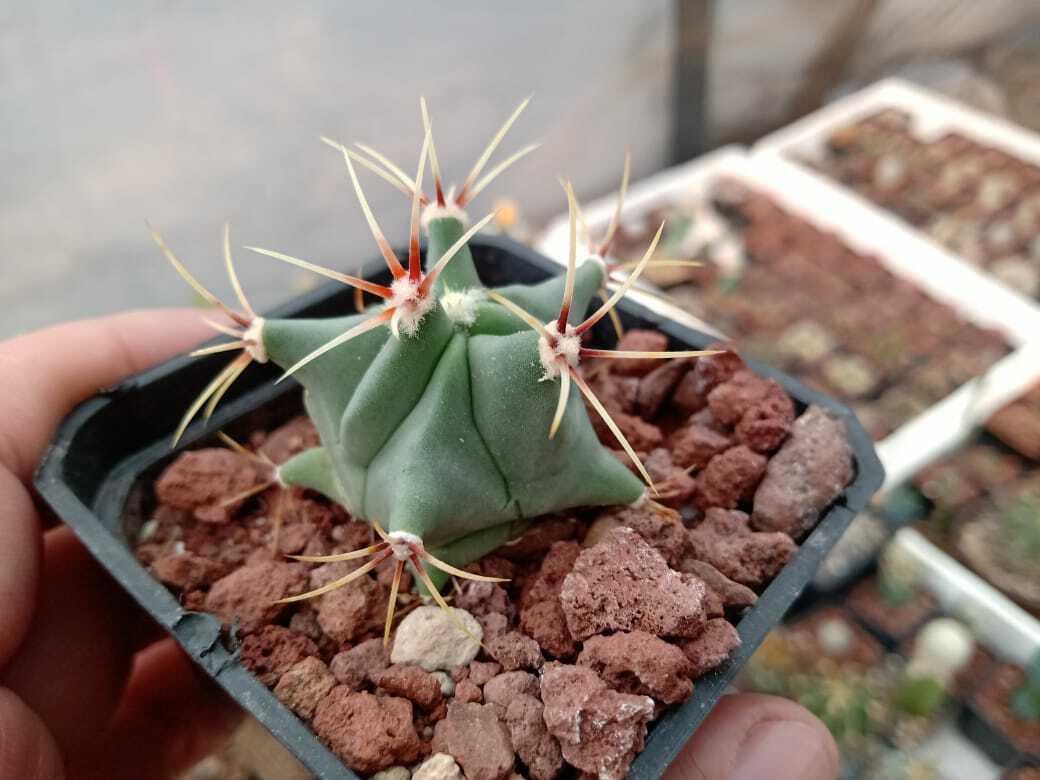 1000 seeds Ferocactus Histrix + 10% fee