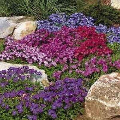 50+ AUBRIETA ROYAL MIX  ROCK CRESS FLOWER SEEDS / PERENNIAL /  DEER RESISTANT