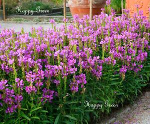 Obeissant Plant Physostegia Virginiana 35 Graines Vivace Fleur Ebay