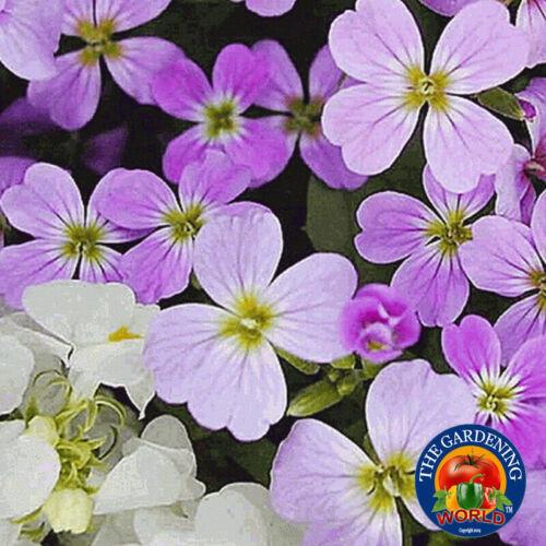 VIRGINIA STOCK Flower Seeds MIX Malcolmia Maritima Fragrant 3000 to 60,000 SEEDS